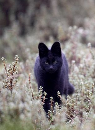 Beautiful Black CATS (ᵔᴥᵔ) Melanistic Serval//