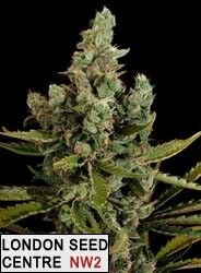 Cheese is a heavy yielders, quick and compact. It can be classified as a highly commercial variety, comparable to Big Bud, Skunk#1, Power Plant, or Critical+ It has been included among the Top Ten by all the coffee-shops in Amsterdam.