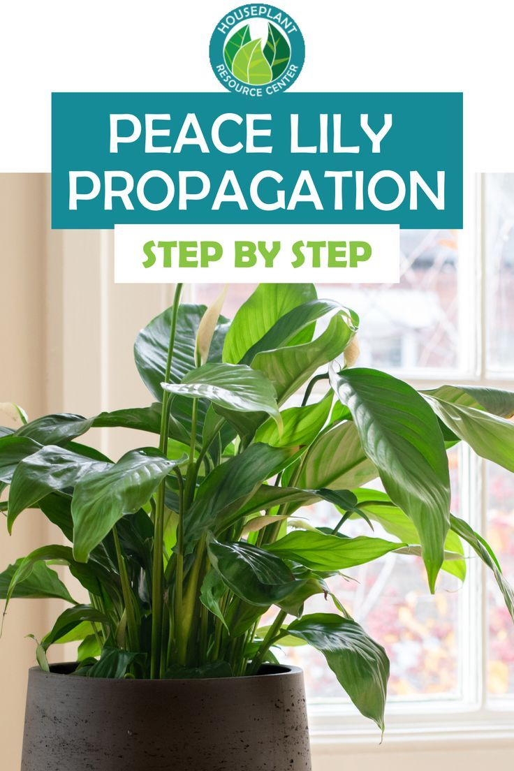 Easy Peace Lily Propagation Through Separation Peace Lily Gardening For Beginners Propagation