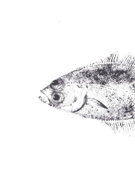Gyotaku fish print 20x30 cm original by maritmoss on Etsy https://www.etsy.com/listing/266455400/gyotaku-fish-print-20x30-cm-original