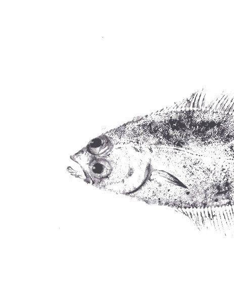 Gyotaku fish print 20x30 cm original by maritmoss on Etsy https://www.etsy.com/listing/266455400/gyotaku-fish-print-20x30-cm-original