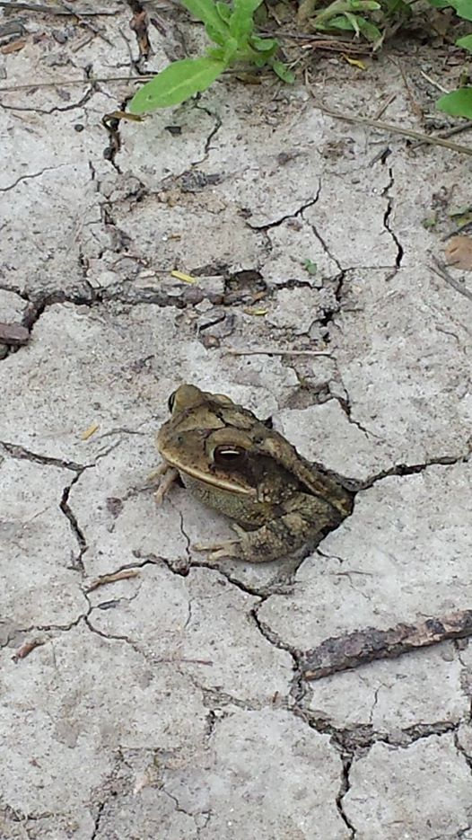 A Gulf Coast Toad (Incilius nebulifer) emerges from its subterranean lair to observe a group of humans out on a nature hike at Santa Ana National Wildlife Refuge, Alamo, TX, USA.photograph by Raul Garza Jr./USFWS