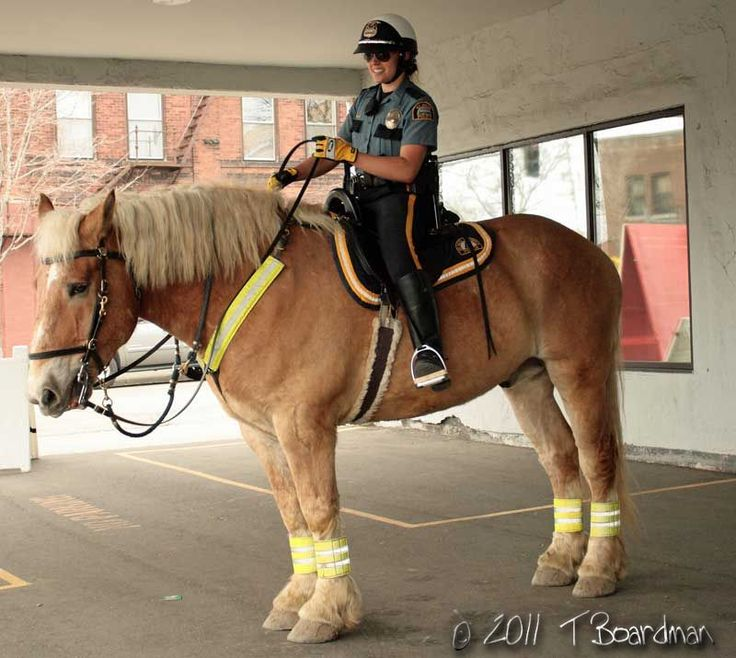 St Paul Mounted officer riding a Belgian police horse ...