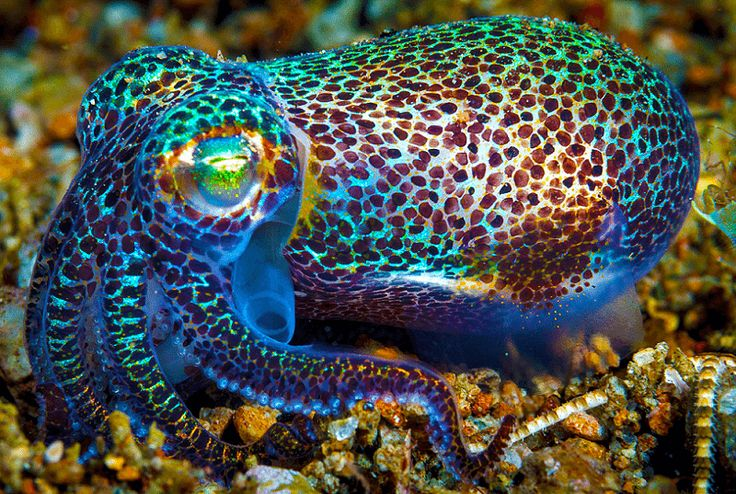 """Hawaiian Bobtail Squid. Full grown they are only 1"""" to 2 1/2"""" long. But they have symbiotic glow in the dark bacteria which adds even more to their beauty."""