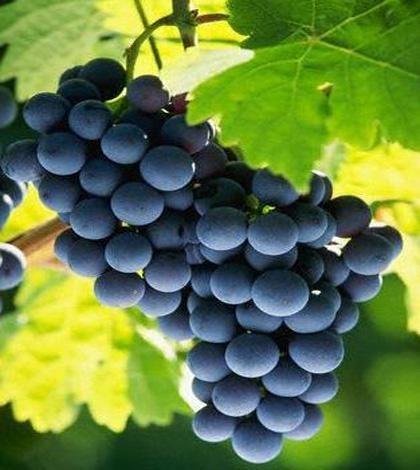 Curarsi coi frutti di stagione: le proprietà dell'uva  http://ambientebio.it/curarsi-coi-frutti-di-stagione-le-proprieta-delluva/