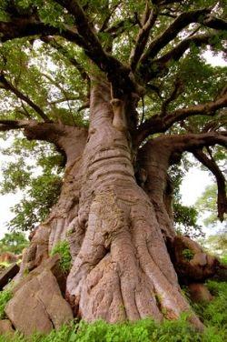 """Baobab sproszkowany – cenny dar z """"drzewa życia"""""""