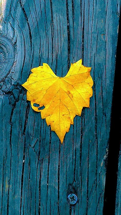 Yellow heart-shaped leaf on blue stained wood #yellow [ CandaceWilsonArtStudio.com ]