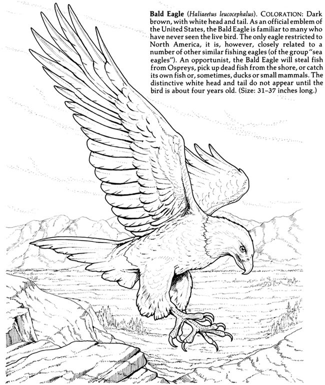 345 best eagle drawing and painting images on pinterest for Birds of prey coloring pages