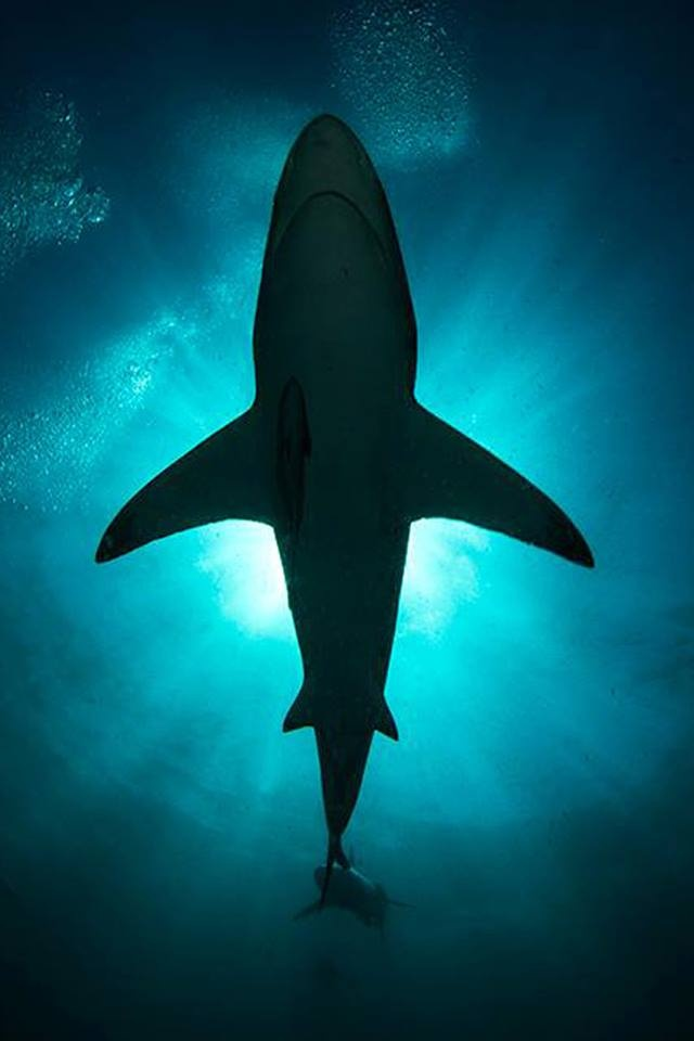 Shark Silhouette - they're the most interesting kind of graceful..