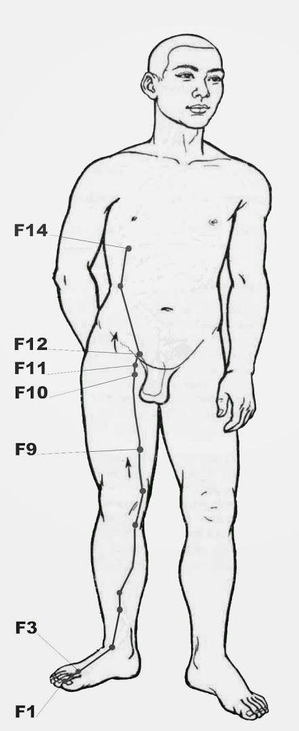 Méridien du Foie: planche du trajet et points d'acupression principaux.