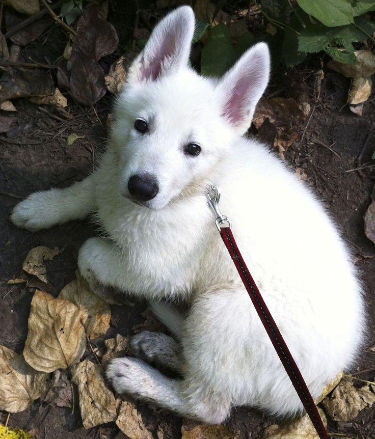 White German Shepherd at 8 weeks old. Looks like my Ziggy Marley. Miss you pretty lady :(