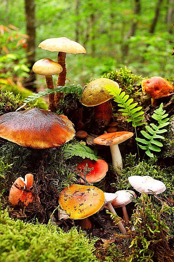 Mushrooms among the ferns