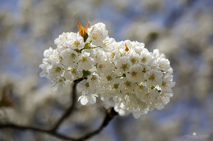 Download free apple blossom HD wallpapers for mobile, PC and laptop.White Apple Blossoms HD Wallpaper very Interesting beautiful heart attractive.