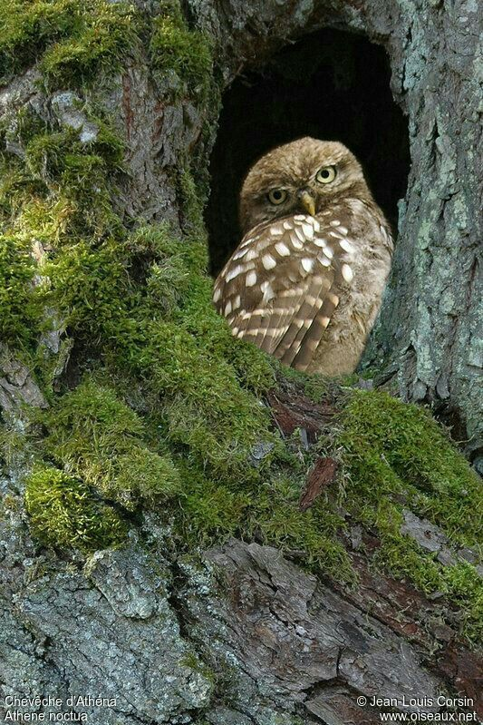 Brown Owl in Moss-covered Tree