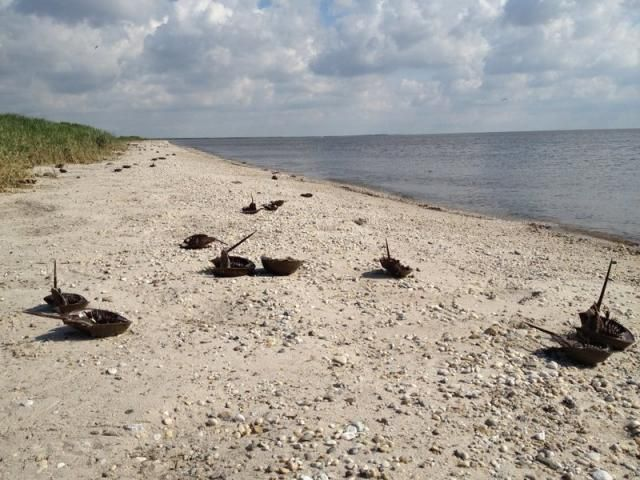 Horseshoe Crabs on Pickering Beach, DE, 40 mi. north of Cape Henlopen. Hundreds of them come up on shore to mate. It they get flipped over in the surf, they can't right themselves. Local authorities encourage beachgoers to turn the crabs over. They look scary but they won't hurt you. Just don't pull them by the sword.