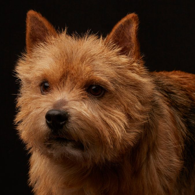 Some people believe dogs look like their owners. Take the Westminster Dog Show Look-Alike Quiz, and see if you can match Nigel the Norwich Terrier to his owner. (Photo: Fred R. Conrad for The New York Times)