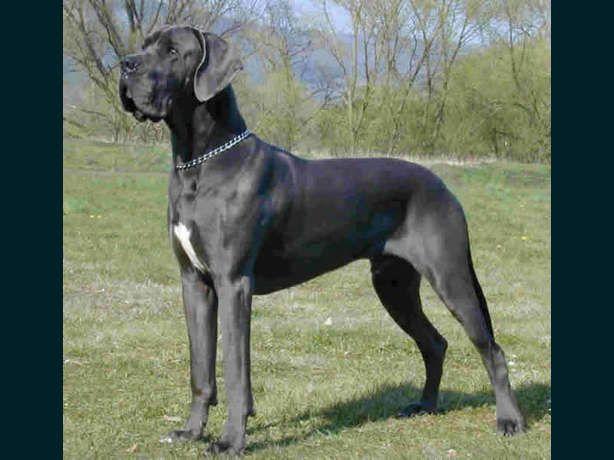 | Blaue Deutsche Doggen