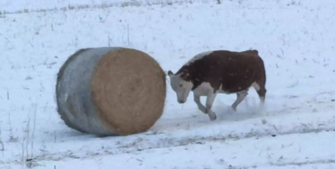 For this Hereford cow, there's nothing like the experience of pushing a bale of hay around in the snow.