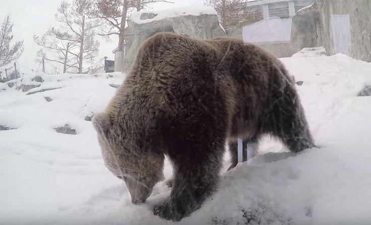 Korkeasaaren karhut heräsivät talviuniltaan etuajassa - syytä ei tiedetä
