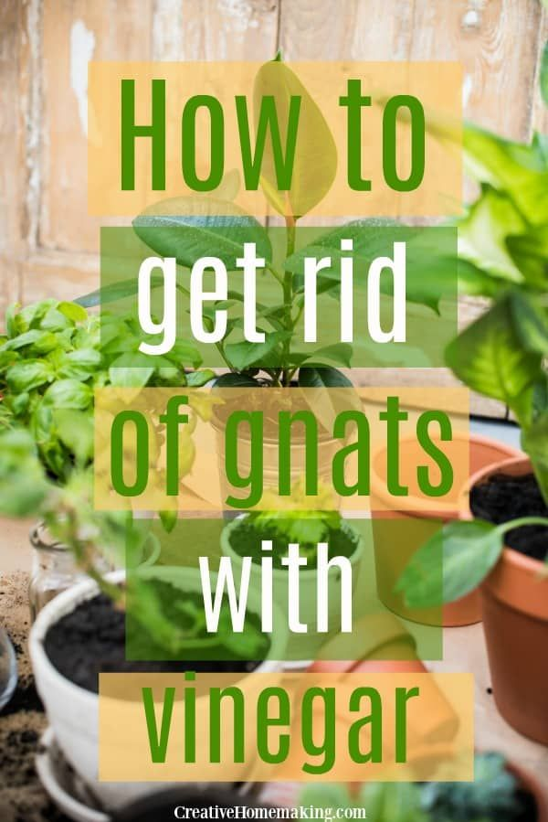 How to Get Rid of Gnats with Vinegar   Gnats in house ...