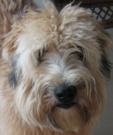 Soft Coat Wheaten Terrier... the BEST BEST BEST type of doggie out there... I have had two, and I miss them very much! <3