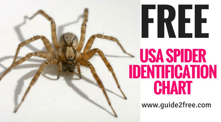 Get a FREE USA Spider Identification Chart!!  Apply online for a FREE Spider Identification Chart with FIRST AID spider bite procedures – color A4 size –Ready Reference Guide to common USA spiders. Featured are the brown recluse, black widow, hobo spider, wolf spider, white-tail spider, black house spider, huntsman and other spiders with notes to aid in identification.