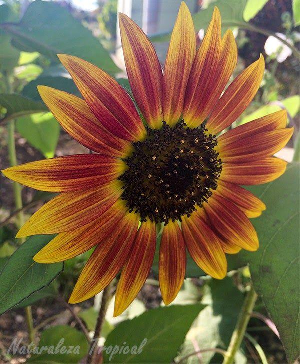 Variedad matizada de la flor Girasol