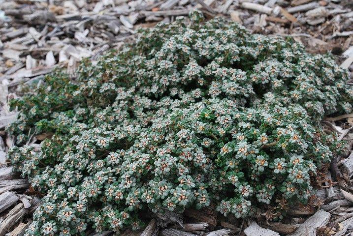 Spyridium Edna Walling Nimbus --- For more Australian native plants visit austraflora.com