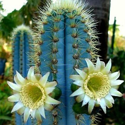 Pilosocereus azureus Blue Torch Cactus is endemic to semi-tropical areas of Brazil. They bloom with white flowers which are pollinated during the night by Bats and Sphinx Moths