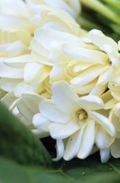 Tiare Tahiti flower, the Tahitian Gardenia