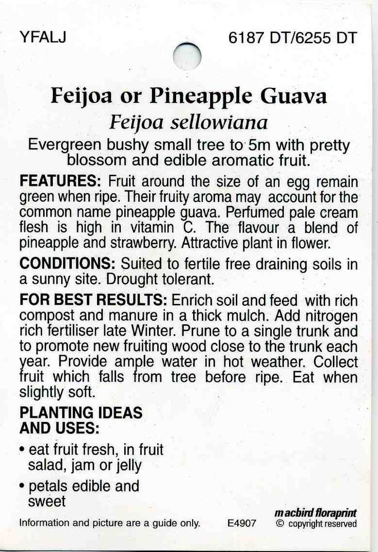 Feijoa Or Pineapple Guava Feijoa Sellowiana Buy Feijoa Or Pineapple Guava  Evergreen Bushy Small Tree To