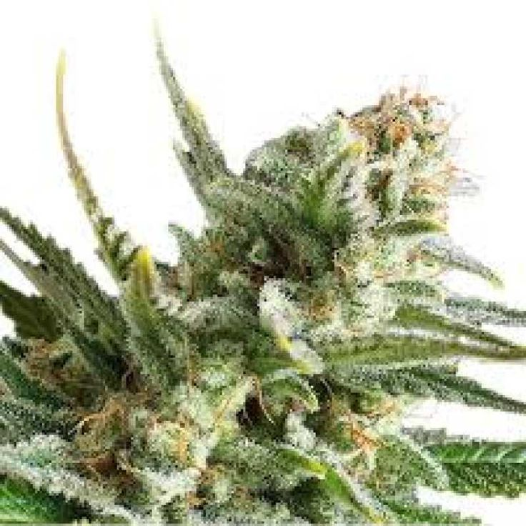 Amnesia - Neuro Seeds был разработан совершенно новый сорт под названием Amnesia, который можно выращивать как в теплице, так и на открытом воздухе, но этот сорт пригоден лишь для теплого климата. Он даст вам от 70-80 г на одно растение в тепличных условиях и 200 г с растения при выращивании на открытом воздухе. Время цветения составляет примерно 12 недель. Amnesia - очень красивый сорт с маленькими соцветиями в форме попкорна и с запахом черного перца с приятными древесными нотками. Для…