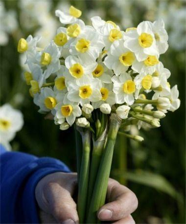 Narcissus Avalanche - Tazetta Narcissi - Narcissi - 50