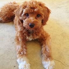 adult red and white cavapoo - Google Search