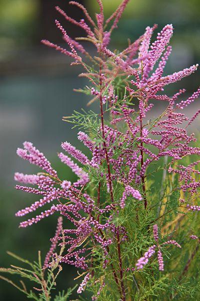Buy tamarisk Tamarix ramosissima 'Pink Cascade': Delivery by Waitrose Garden in association with Crocus