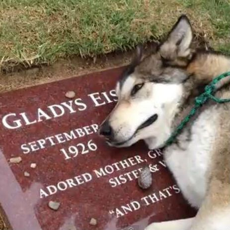 """We hope you're ready for a cry to end the week, because this video of a big wolf whimpering at the grave of his owner's granny is a real tearjerker. The big softie is called Wiley, and although some YouTube commenters are suggesting he's ill or sneezing, we're on owner Sarah Varley's side, and think that just like all of us he's sad to see a beloved relative pass away: """"I can tell you that he has never done that before and hasn't done it since."""