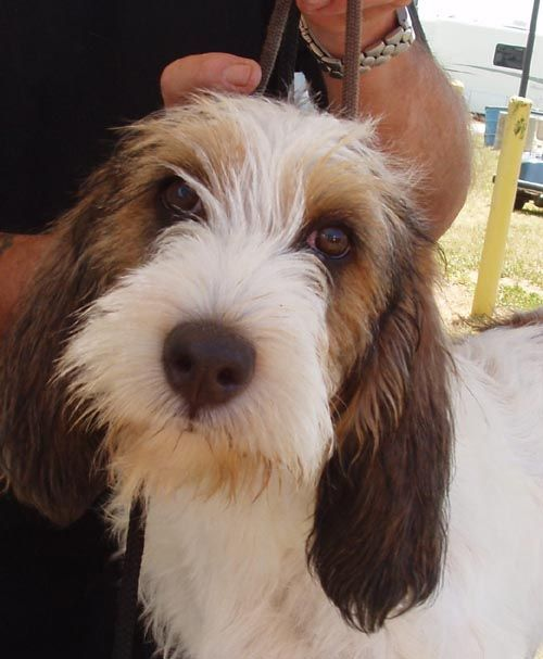 17 best images about petit basset griffon on pinterest pets puppys and pictures - Petit basset hound angers ...