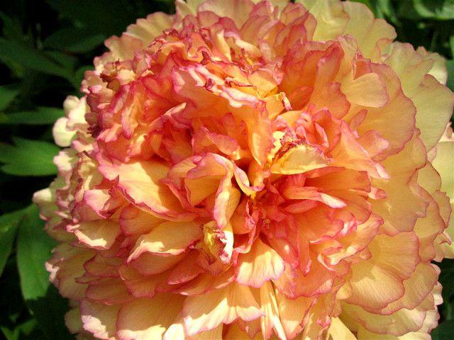 Pivoine arbustive aux fleurs orangées
