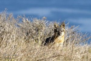 Island Fox in Channel Islands National Park