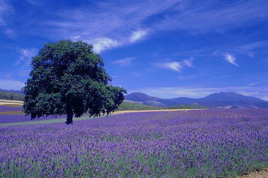 Lavender Farm, Tasmania