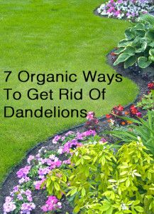 Naturally Getting Rid Of Dandelions