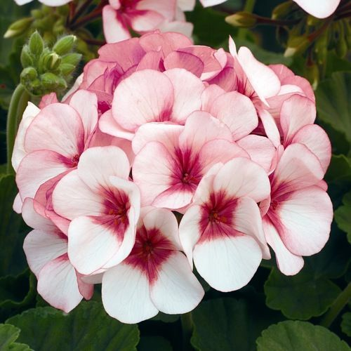 how to grow geraniums indoors from seed
