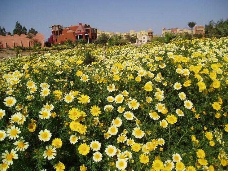Ein Meer von herrlichen Blumen und Pflanzen in der Wüste (El Gouna)