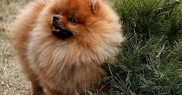 Dogspuppiesforsalecom liked | 256 Likes 1 Comments - canil da pomeranian (@pomeraniasearth) on Instagram: Hermoso día ! #Pomerania #pomeranian Getting a dog or a puppy as a new addition to your family is an excellent decision! You're adding another member that can provide lots of love and enjoyment! This is a relationship you'd want to make sure that you're doing right the first time around. You'll need to find out what makes your dog happy what are the things to look out for and basically…