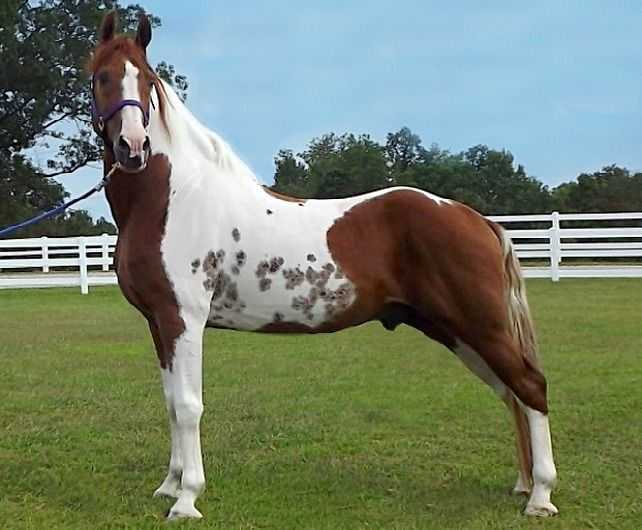 Tennessee Walking Horse stallion, Handshaker's Indian.