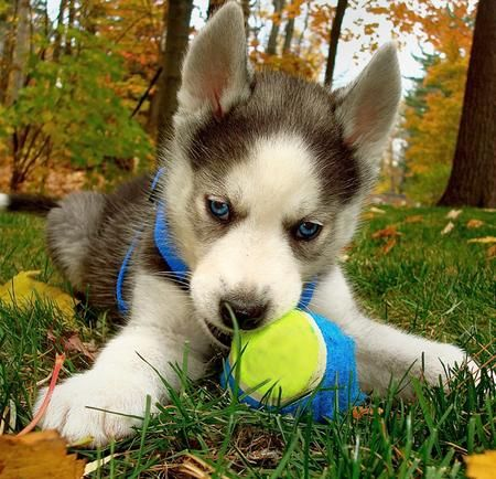 Beautiful Loki, the Siberian Husky puppy.