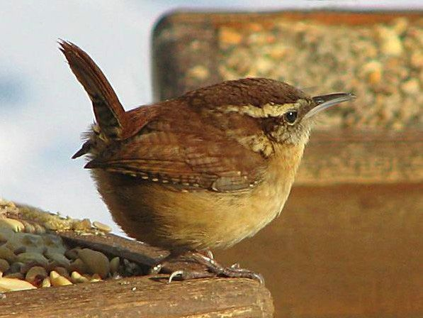 """Carolina Wren"" - A favorite at my feeder daily!"