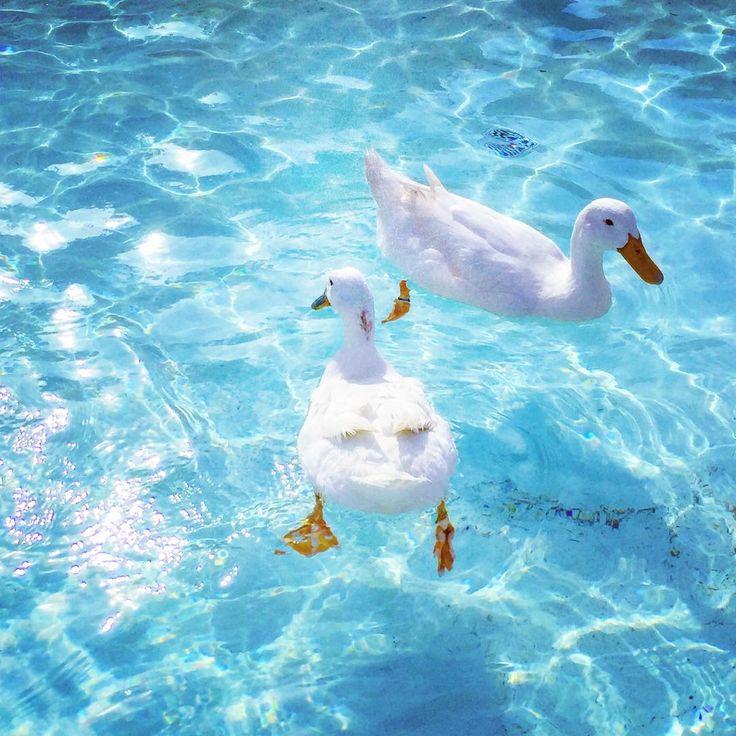 海行きたい。夏嬉しい。夏が早くやってくるのは大歓迎!  #マザー牧場 #あひる#ちょっと前の写真 #暑い暑い暑い #水#プール#海  #あひるといっしょにおよぎたい
