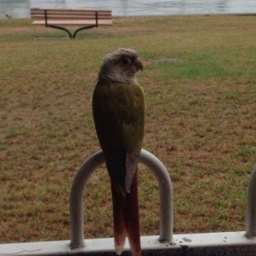 LOST: Loclan http://ow.ly/E2j25 Female, Grey Green Red, Conure #Balmain #Sydney NSW #LostBirdBalmain #LostBirdSydney #LostBirdNSW #LostPetFinders