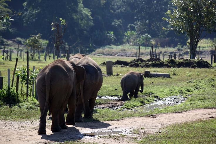 The Inside Story of the Elephant camps in Chiang Mai. Read this before you volunteer in Thailand!